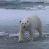 Female polar bear on pack ice north of the Seven Islands
