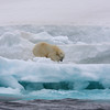 Magnificent male Polar Bear in Murchisonfjorden