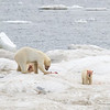 A female Polar Bear with two cubs of the year on a kill north of Wrangel Island