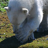 Polar Bear paws can get as big as 12 inches in diameter!