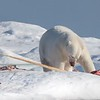 As we neared the carcass we could see a tusk - it was a male Narwhal!