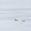 A female bear watching a seal hole while her cubs sit close by