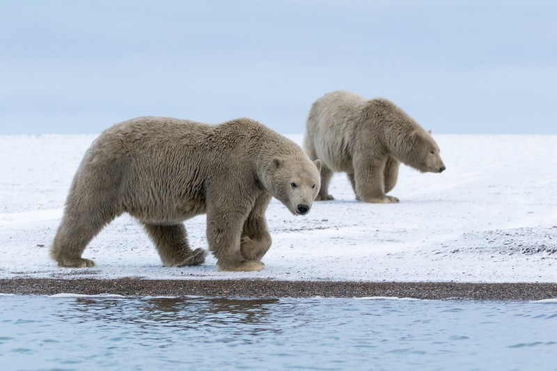 Two of the dirtiest polar bears we have ever seen arrived on a grey evening.
