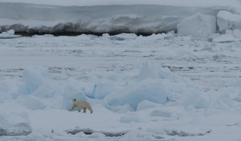 Female polar bear on pack ice in Palanderbukta