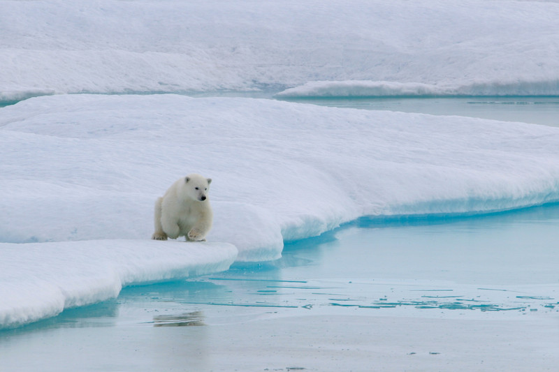 Mother and cubs at the edge of the sea ice