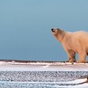 A polar bear on the spit just before sunset on our first night.