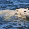 Polar Bears : Polar Bears from the Canadian Arctic