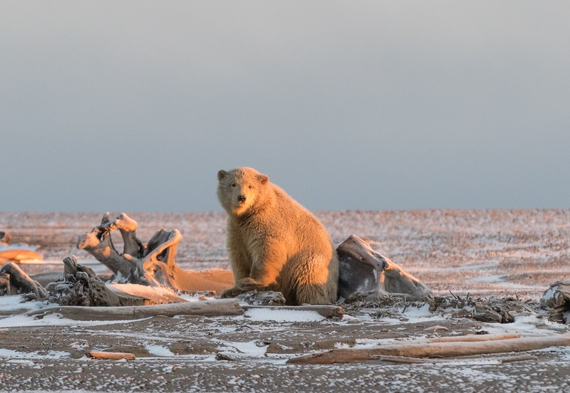 A cub-of-the-year in golden early morning light.