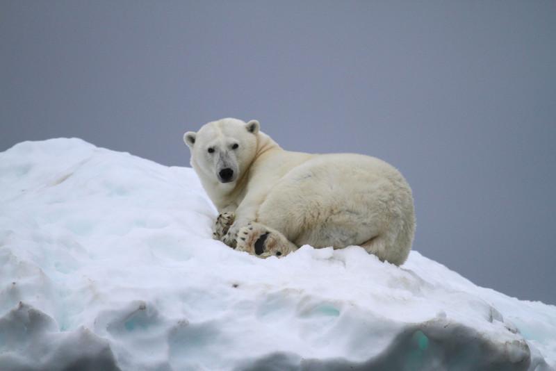 Sleeping Polar Bear on a small patch of ice on Karl XII-oya