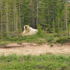 Polar Bear taking a rest among the trees