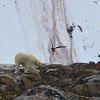A skinny polar bear on Fugloya