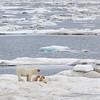 Animals in their environment.  Polar Bears are true icons of the Arctic