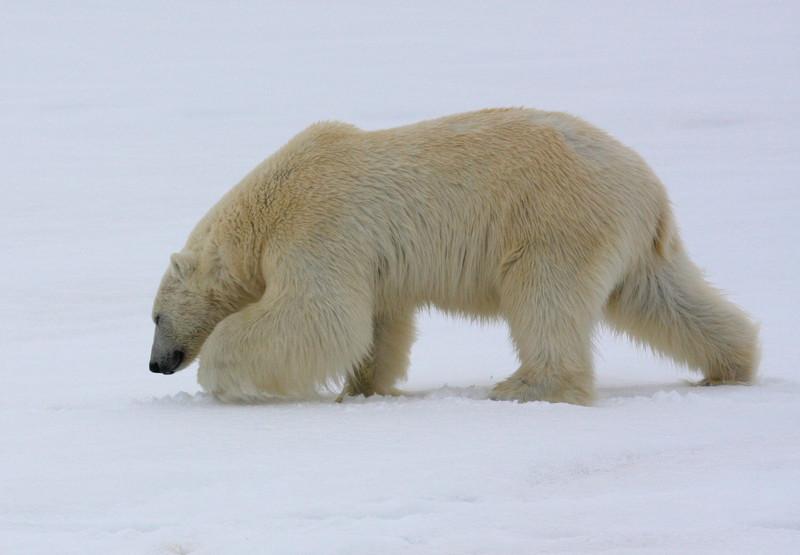 Magnificent male Polar Bear in Murchisonfjorden
