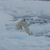 Polar bear cubs playing in Palanderbukta