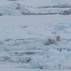Polar bear cubs in Palanderbukta