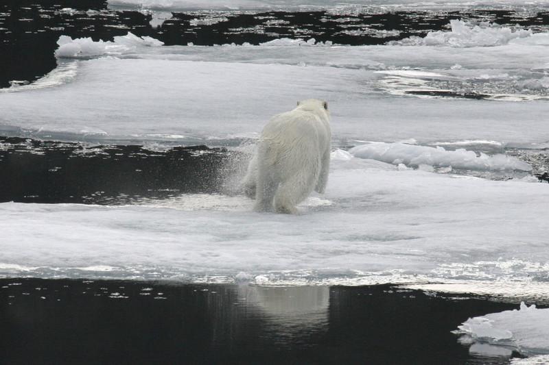 Polar Bear startled by the arrival of our ship - the Kapitan Khlebnikov.
