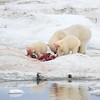 This image proved that the kill was a young Walrus, one of the main prey species for bears in these waters