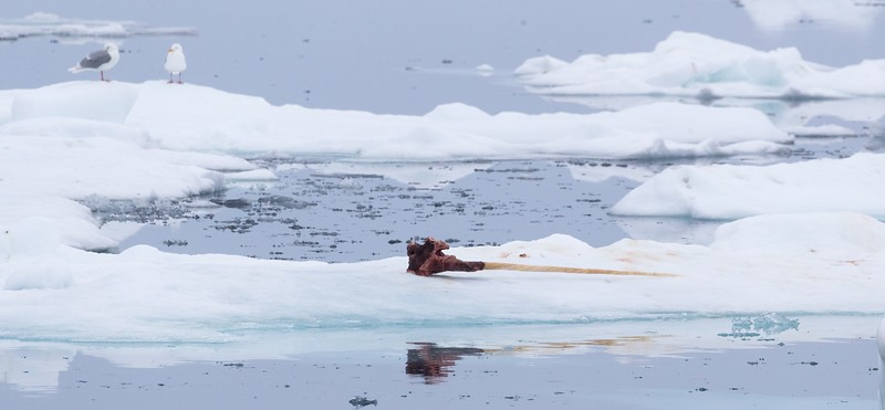 The Narwhal tusk and skull were now on a small ice floe - the ice was breaking up