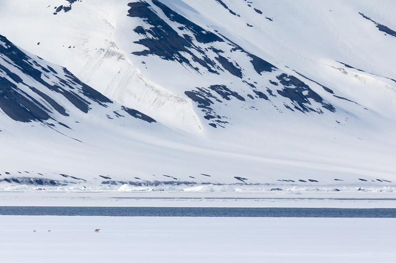 Another female Polar Bear with two cubs-of-the year dwarfed against the spectacular Spitsbergen scenery