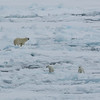 Polar bear mother and cubs in Palanderbukta