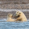 Two cubs enjoying play-fighting in the water.   They are truly marine mammals.