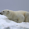 Sleeping Polar Bear on a small patch of ice on Karl XII-oya