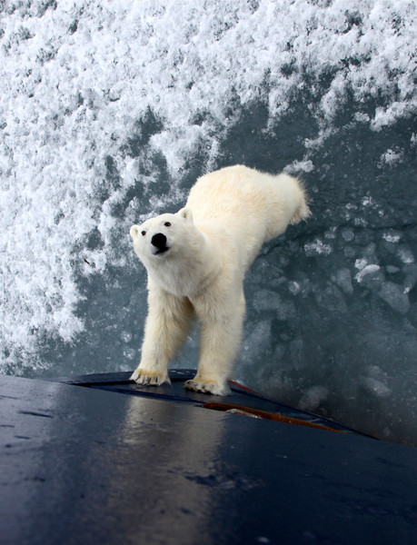 Polar bear checking us out on the M/S Stockholm