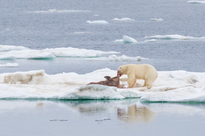 As we sailed from Wrangel Island towards Herald Island we spotted a big male Polar Bear feasting on a Walrus kill