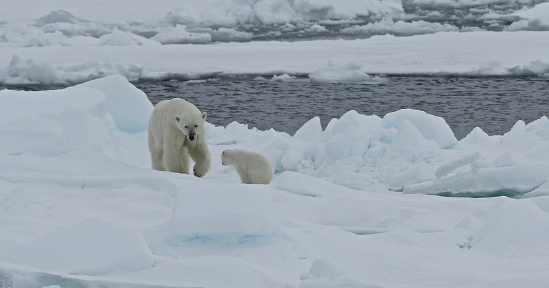 Mother and cub on pack ice in Palanderbukta