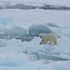 Polar bear cub on the ice in Palanderbukta