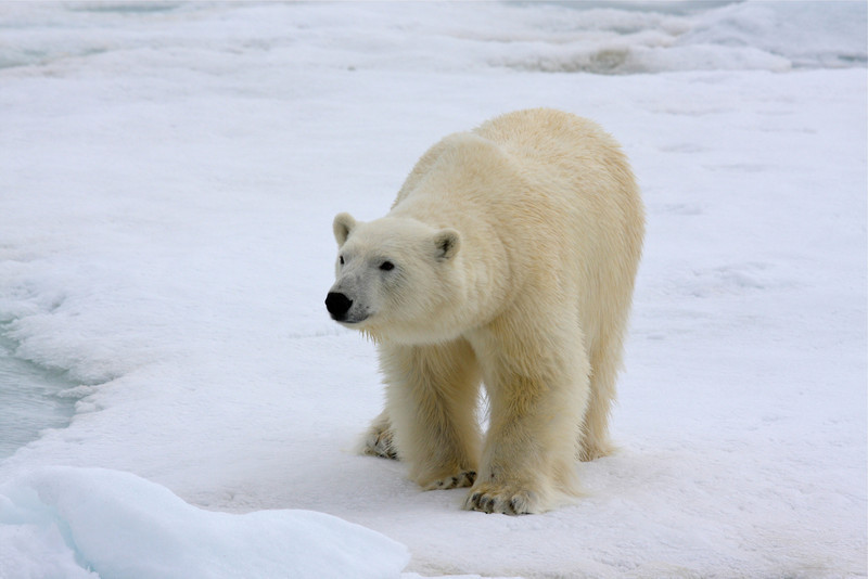 Polar Bear slowly approaching the ship - the M/S Stockholm
