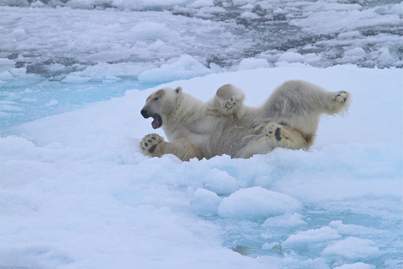 Polar Bear on pack ice north of the Seven Islands