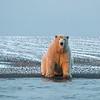 A nice plump polar bear in very good condition.
