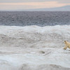 Our first Polar Bear on pack ice in the De Long Strait
