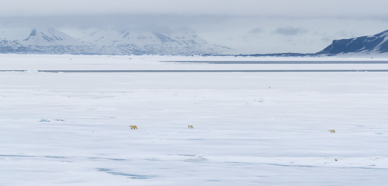 The bear family looked completely insignificant as they roamed across the pack ice