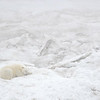 As we returned to Wrangel Island another bear was spotted through the fog, this one fast asleep on a huge floe of multiyear ice