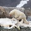 A lone bear on an old Sperm Whale carcass on Danskoya