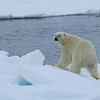 Our third bear on pack ice in Erik Eriksenstretet