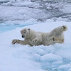 Polar Bear on pack ice to the north of Severnoya - this one was very relaxed as the M/S Stockholm approached slowly