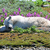 Summer in the Arctic with the Polar Bears