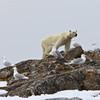 Skinny Polar Bear, Fugloya