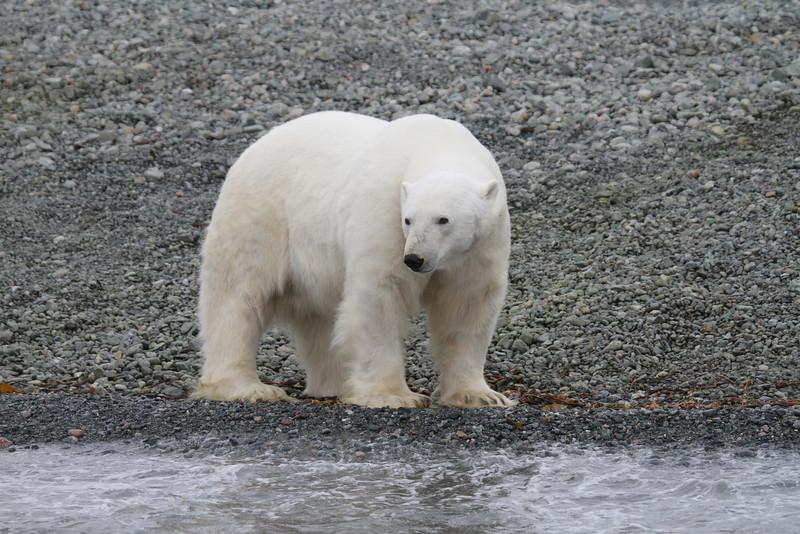 A big male polar bear on the shore of Storoya