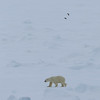 Polar bear on pack ice to the north of Hinlopenstretet
