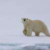 Polar bear in Murchisonfjorden
