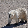 This young Polar Bear just got out of the muddy water and walked up to us at our Tundra  Buggy