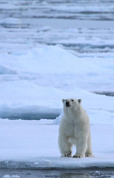 Polar Bear on pack ice to the north of Severnoya