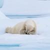 A rather sleepy bear!