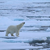 Polar Bear on pack ice to the north of Severnoya