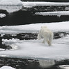 Polar Bear startled by the arrival of our ship - the Kapitan Khlebnikov.