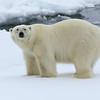 Bear number four near Nordaustlandet